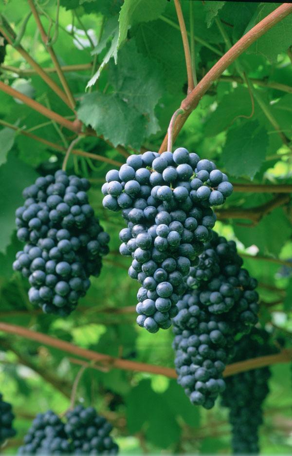 春意盎然 不得不喝柯威CAVIT 葡萄酒的三大理由